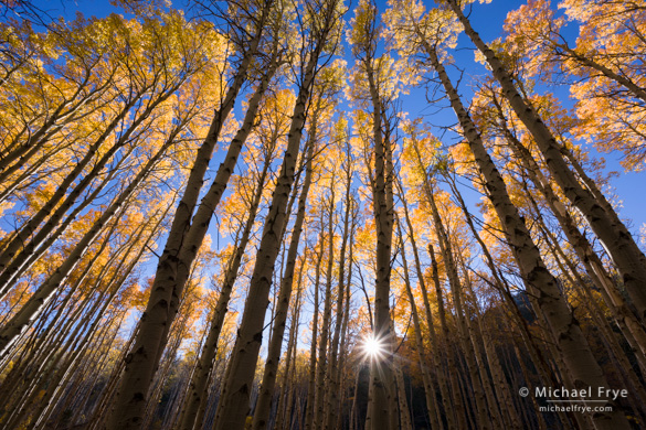 Backlit aspens, Saturday afternoon