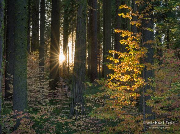 Dogwoods at sunset along Highway 120 in Yosemite, Sunday evening