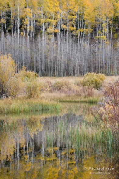 Autumn aspens and pond, Inyo NF, CA, USA