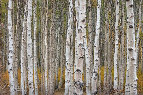 Aspen trunks, Lee Vining Canyon, Inyo NF, CA, USA
