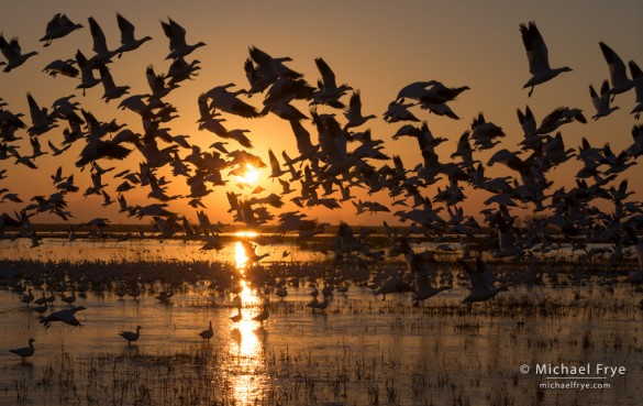 Ross's geese taking flight at sunset, Central Valley, CA, USA