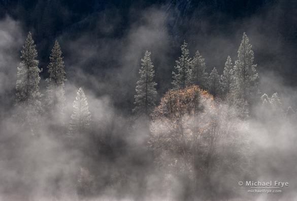 Backlit oak and pines, El Capitan Meadow