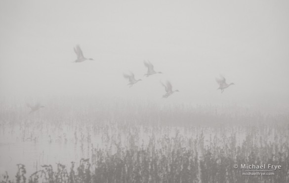 Pintail ducks taking flight in the fog, Merced NWR, CA, USA
