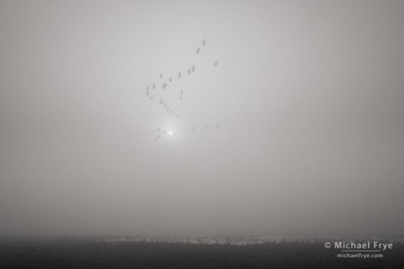 Ross's goose formation in the fog, Central Valley, CA, USA