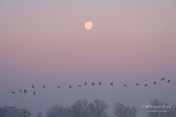 Sandhill cranes and the setting moon, Central Valley, CA, USA