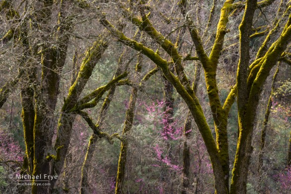 Redbuds and mossy oaks, Merced River Canyon, CA, USA