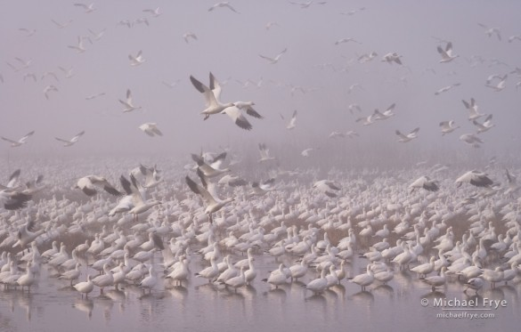 Ross's geese taking flight in the fog, Central Valley, CA, USA
