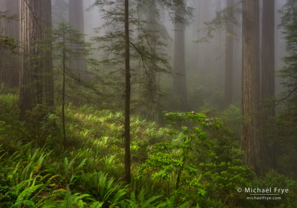 Sense of Depth: Redwoods, ferns, and rhododendrons near the northern California coast, USA
