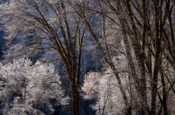 Frost on California black oaks, Yosemite NP, CA, USA
