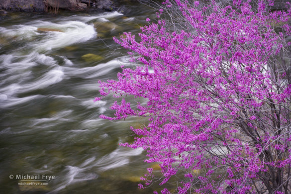 Redbud along the Merced River, Merced River Canyon, near Briceberg, CA, USA
