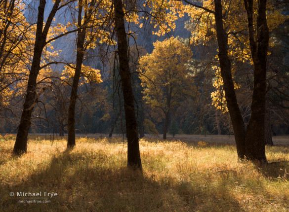 Oaks in autumn, El Capitan Meadow, Yosemite NP, CA, USA