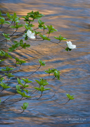 Dogwood blossoms and reflections in the Merced River, from May 2012