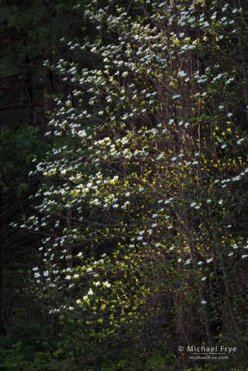Backlit dogwood, Yosemite NP, CA, USA