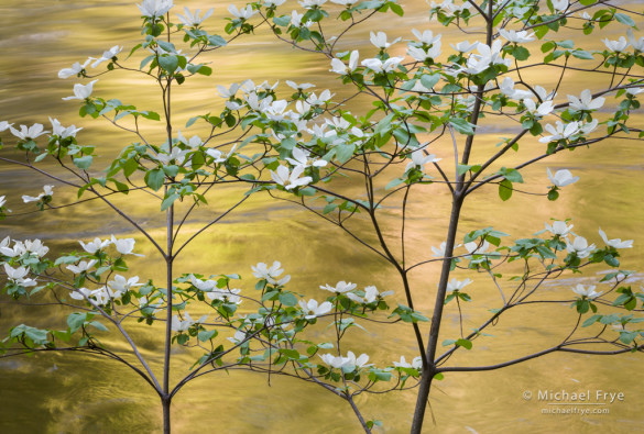 Dogwoods and reflections along the Merced River, Yosemite NP, CA, USA