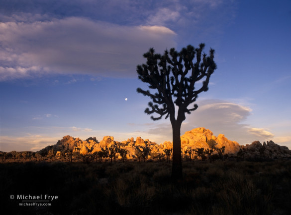 Joshua tree with moon at sunrise, Joshua Tree National Park, California. A frontlit silhouette, with the shaded tree against a sunlit background.