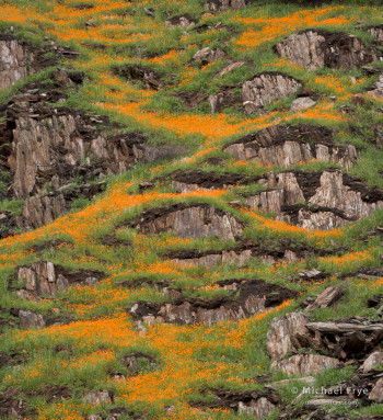 California poppies zigzagging across a hillside in the Merced River Canyon, Stanislaus NF, CA, USA