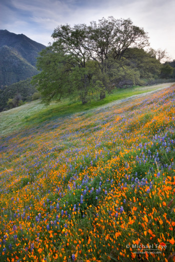 Poppies, lupine, and oaks blooming in an area burned by the 1990 A-Rock Fire, near El Portal, CA