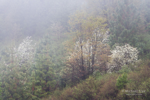 Dogwoods in fog in an area burned by the 1990 Steamboat Fire, Yosemite NP, CA (photograph from May, 2013)