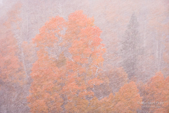 Aspens in an autumn snowstorm, Conway Summit, Toiyable NF, CA, USA