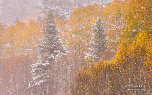 Aspens and pines in an autumn snowstorm, Toiyabe NF, CA, USA