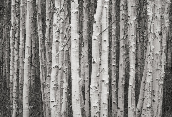 Aspen trunks, Lee Vining Canyon, CA, USA