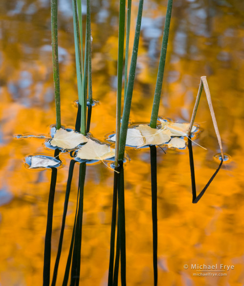 Reeds, cottonwood leaves, and reflections, Bella Rosa Vineyards, Sonora, CA