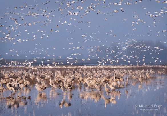 Sandhill cranes, Ross's geese, white-fronted geese, and American shovelers, San Joaquin Valley, CA, USA