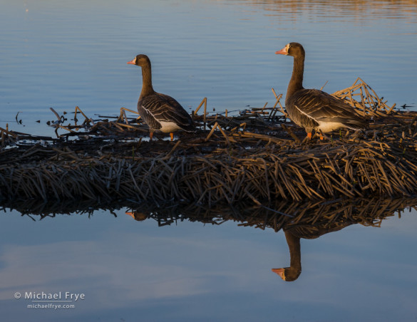 White-fronted geese, Sacramento NWR, CA USA