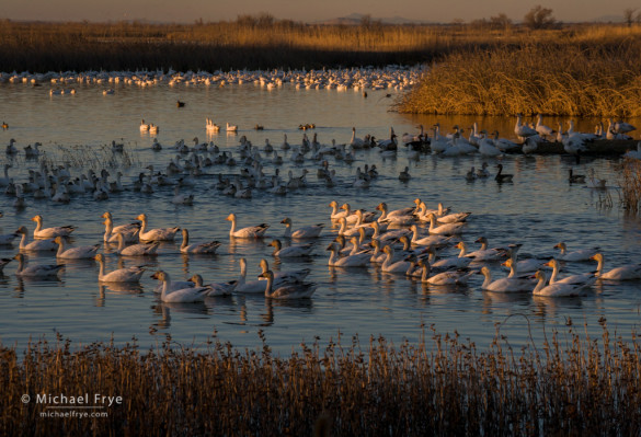 Snow geese in late-afternoon light, Sacramento NWR, CA, USA
