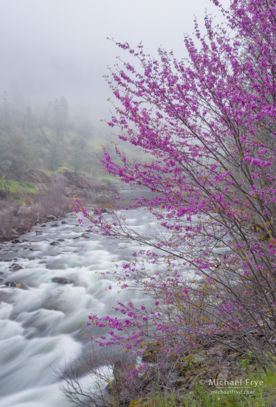 Redbud, fog, and the Merced River, Merced River Canyon, CA, USA