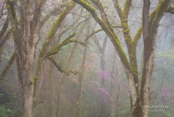 Oaks and redbud in the fog, Mariposa County, Stanislaus NF, CA, USA