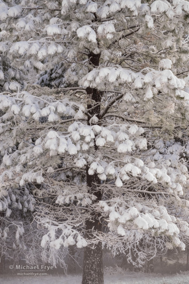 Snow-covered ponderosa pine, Yosemite NP, CA, USA