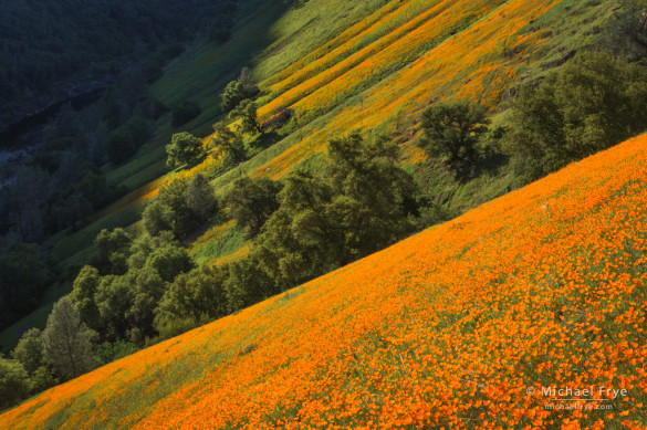 Poppies in the Merced River Canyon, Sierra NF, CA, USA