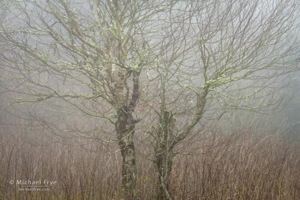 Birch tree in fog, Blue Ridge Parkway, NC, USA