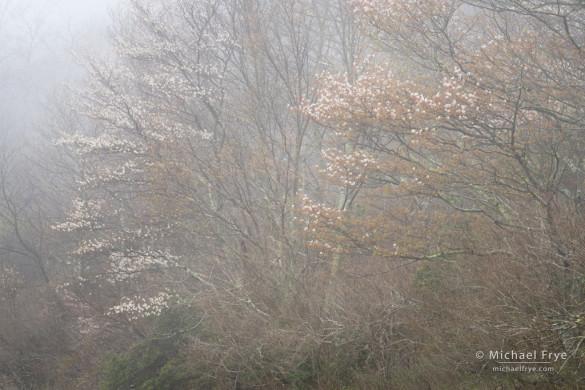 Sarvis in fog, Blue Ridge Parkway, NC, USA