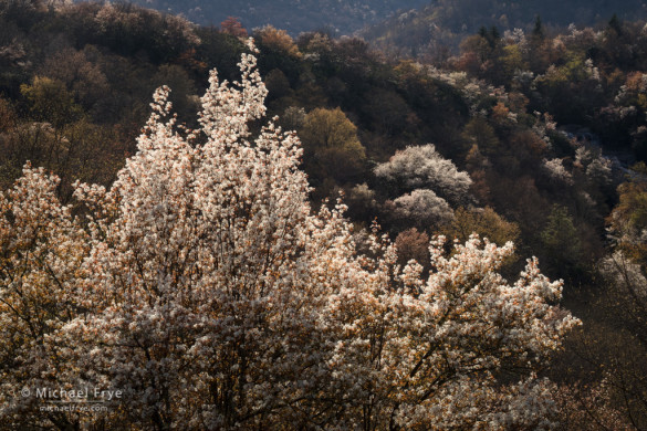 Backlit sarvis, Graveyard Fields, Blue Ridge Parkway, NC, USA