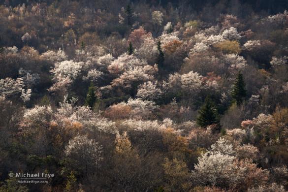 Sarvis in bloom, Graveyard Fields, Blue Ridge Parkway, NC, USA