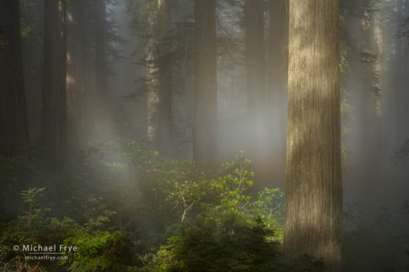 Redwoods, rhododendrons, and a fog rainbow, northern California, USA