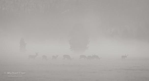 Mule deer bucks in fog, Tuolumne Meadows, Yosemite NP, CA, USA