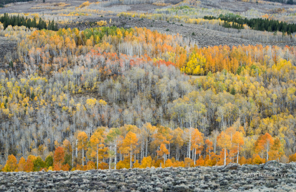 Aspen-covered hillside, autumn, Toiyable NF, CA, USA