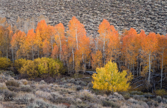 Aspens, willows, and sagebrush, Toiyabe NF, CA, USA