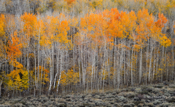Quaking aspens, autumn, Inyo NF, CA, USA