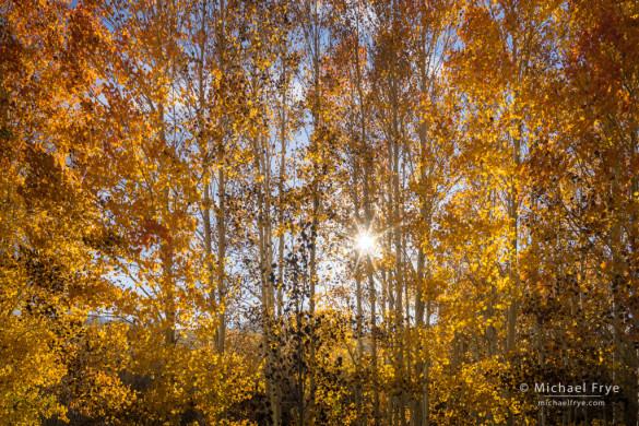 Late-afternoon sun in an aspen grove, Toiyabe NF, CA, USA