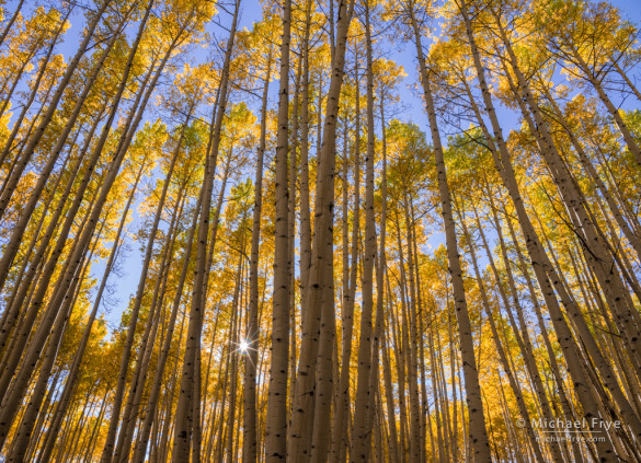Quaking aspens, late afternoon, Gunnison NF, CO, USA