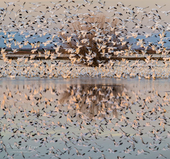 Ross's geese and reflections, San Joaquin Valley, CA, USA
