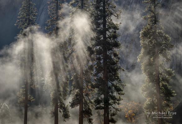 Ponderosa pines in mist, El Capitan Meadow, Yosemite NP, CA, USA