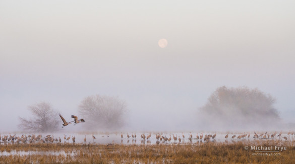 Sandhill cranes, fog, and the setting moon, San Joaquin Valley, CA, USA