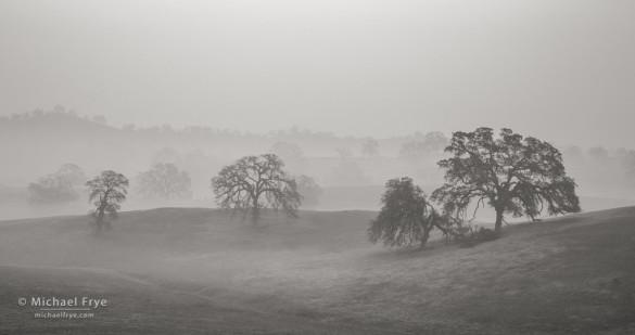 Blue oaks in fog, Sierra Nevada foothills