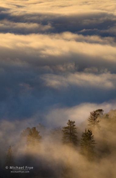 Ponderosa pines in fog on Mt. Bullion, Mariposa County, CA, USA