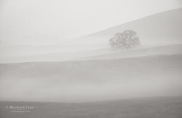 Blue oak in fog, Sierra Nevada foothills, Mariposa Country, CA, USA